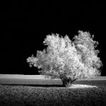 infrared-tree-photoshop-b&w